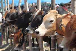 Ban On Slaughter Of Cattle