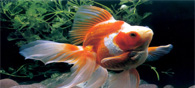 DNA Barcoding To The Rescue Of India's Ornamental Fish