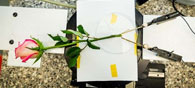 New 'Electronic' Rose Plant Can Store Energy