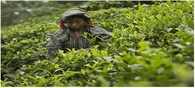 India's tea exporters focus on Chinese market