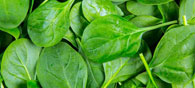 Device From Spinach Leaves To Produce Electricity
