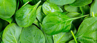 Spinach Leaves To Produce Electricity