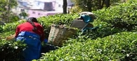Tea production down 3.7% in Oct, exports up 1.17%