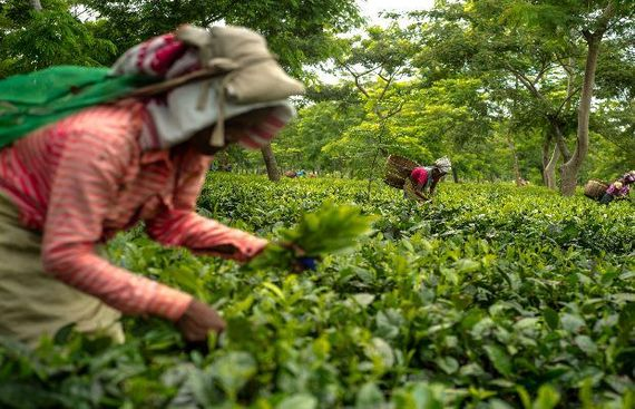 Tea exports increase 11.5% in April: Tea Board