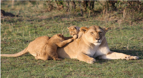 Lions, spotted in Masai Mara National Reserve in Kenya
