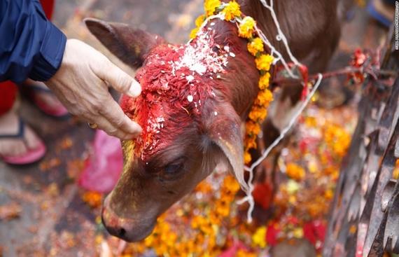 Delhi?s Holi Cow Festival