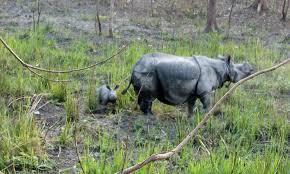 Rhino killed in Assam, two poachers gunned down