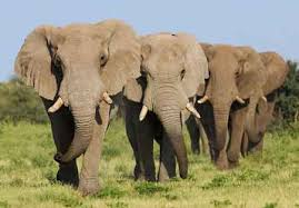 Elephants recognise enemies from their sounds