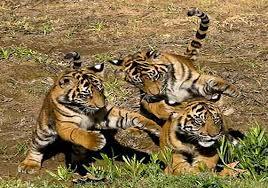 Bihar developing India\'s biggest grassland for tigers
