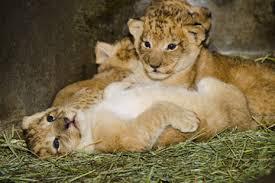 Copenhagen Zoo kills four healthy lions