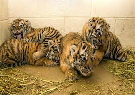 Four tiger cubs born in Patna zoo