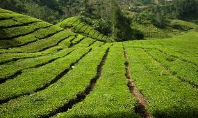 Attractions in cameron Highland